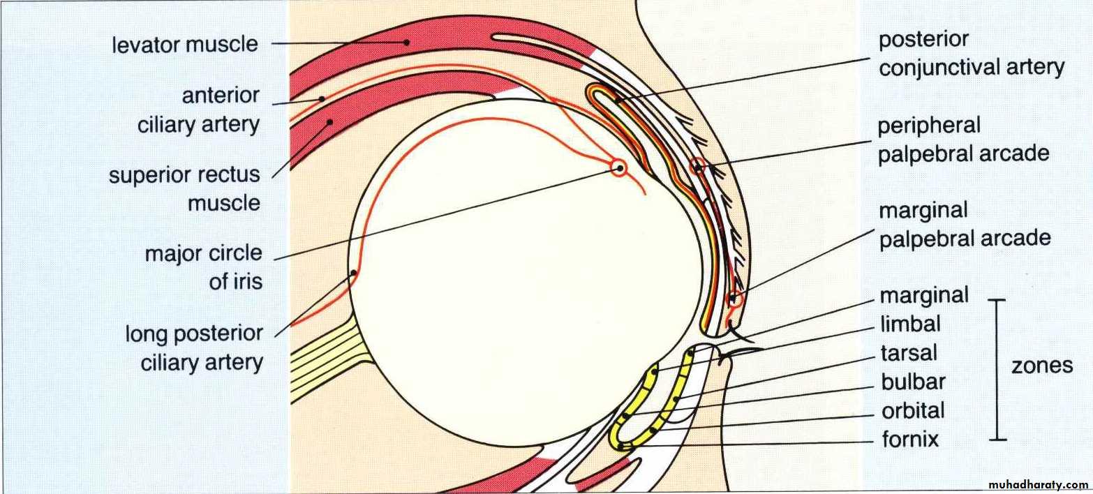 ocular anatomy ( docx - د.اسامه - Muhadharaty