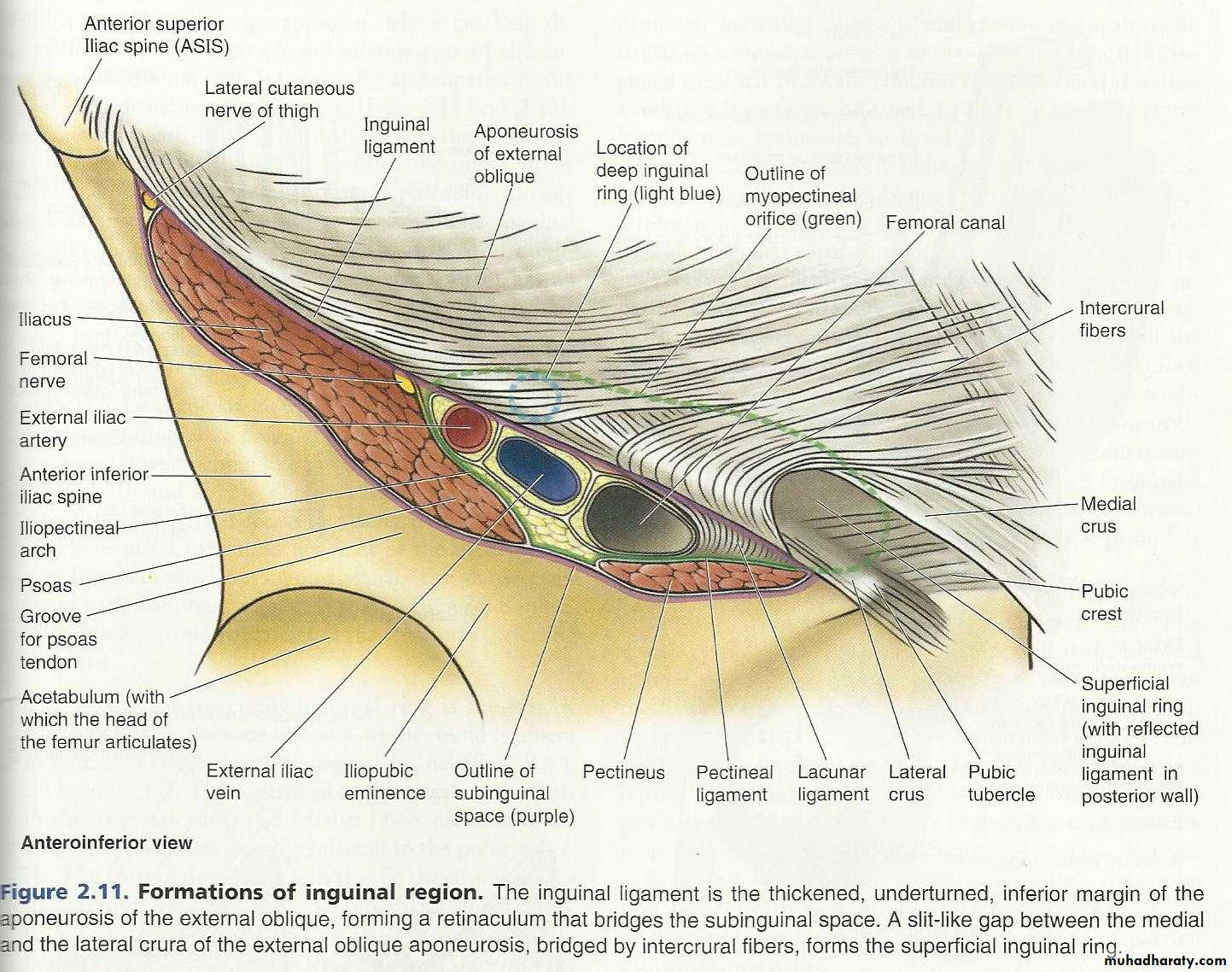 practical ANATOMY of the ABDOMEN (after mid yr) ppsx - RuQaYa FaLaH ...