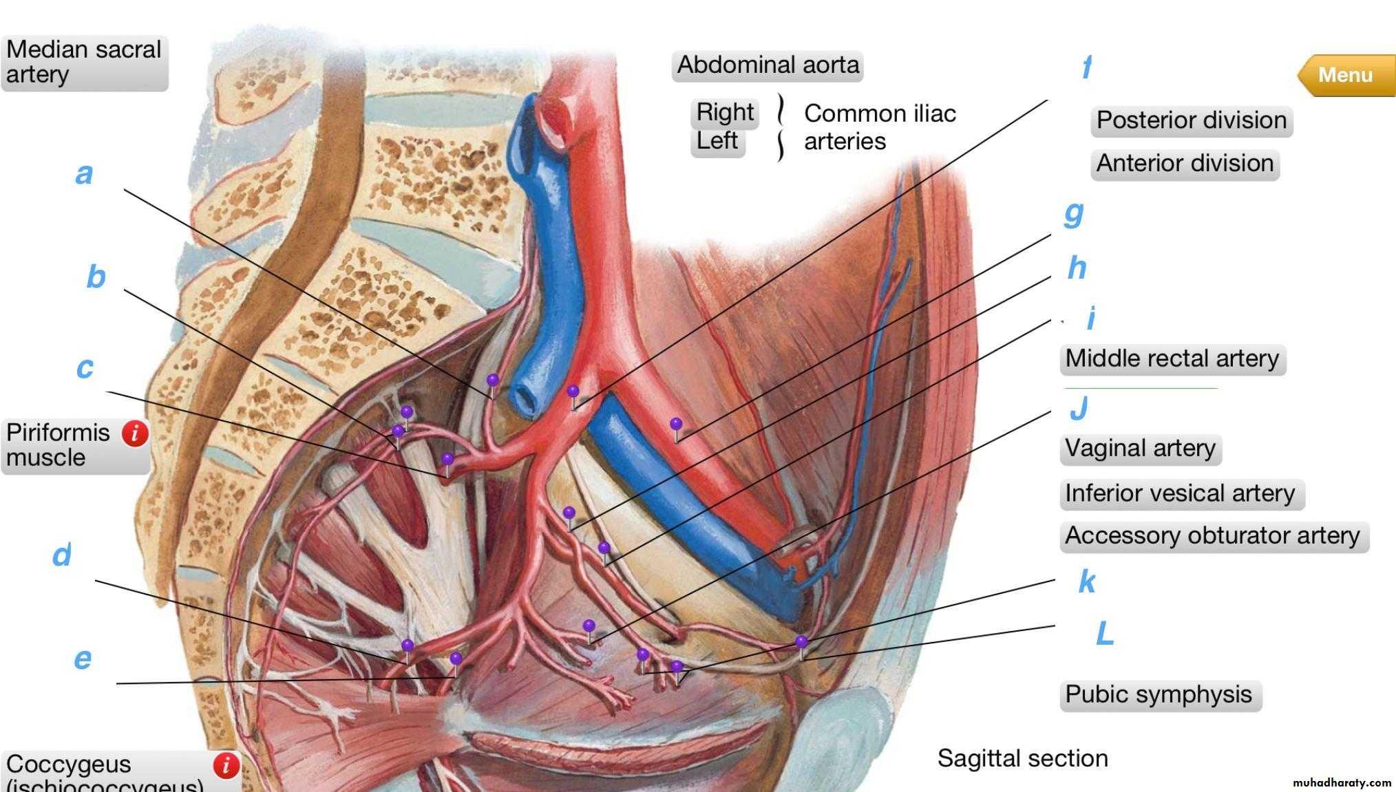 Internal Iliac Artery With Its Branches Pptx Ruqaya Falah