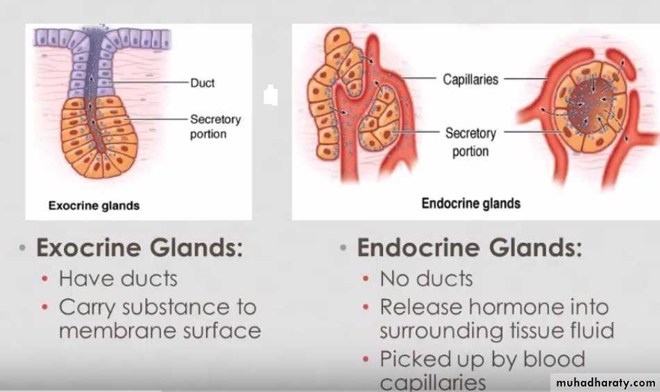 Endocrine System Pptx Muhadharaty