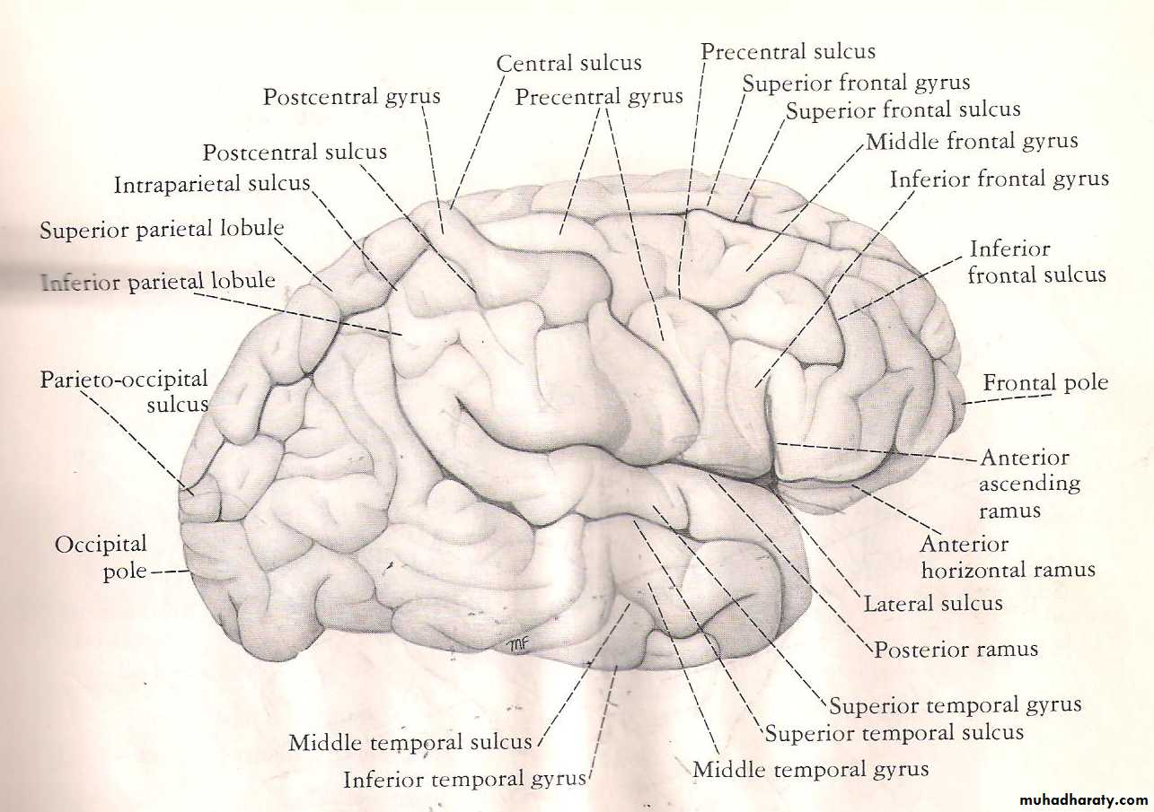 Neuro anatomy pptx - Dr.ALHubaity - Muhadharaty