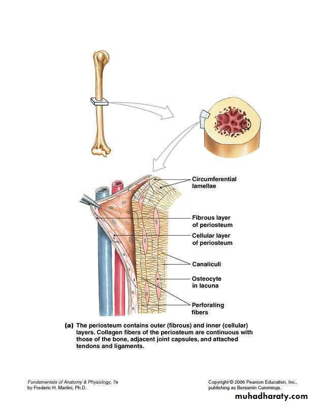 Bone Tissue Pptx Drhaila Muhadharaty