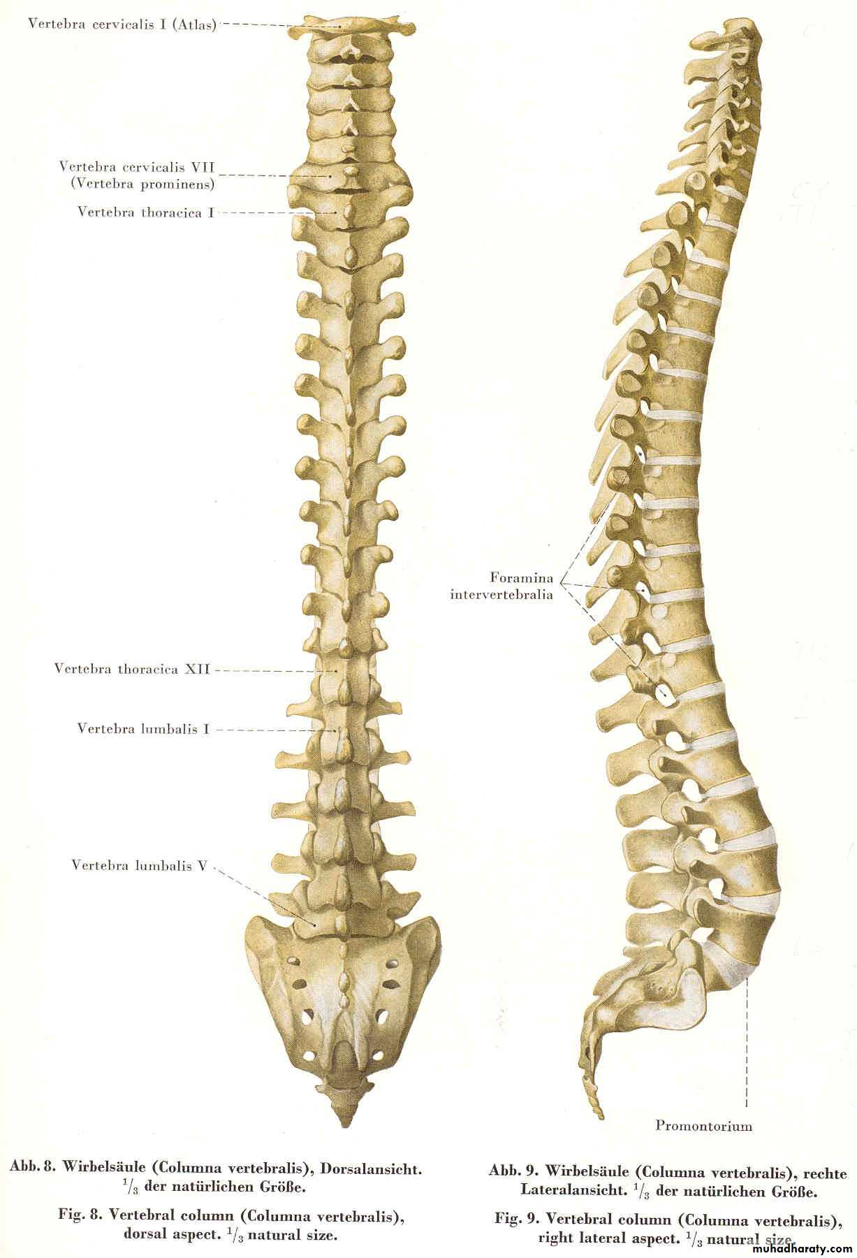 Injuries of the thoracic spine pptx - د.داؤود العبيدي - Muhadharaty