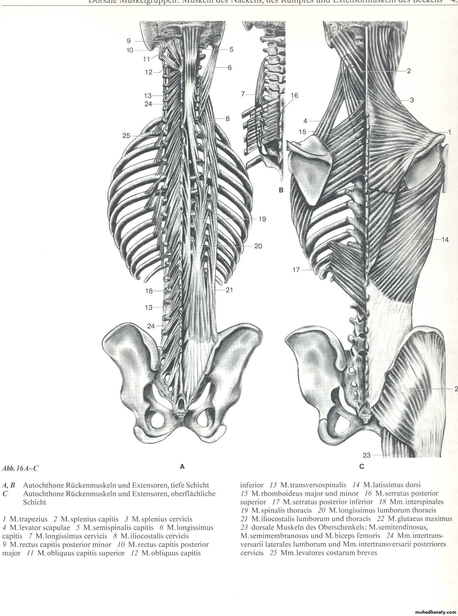 Atemberaubend Zentralvenenanatomie Bilder - Anatomie Von ...