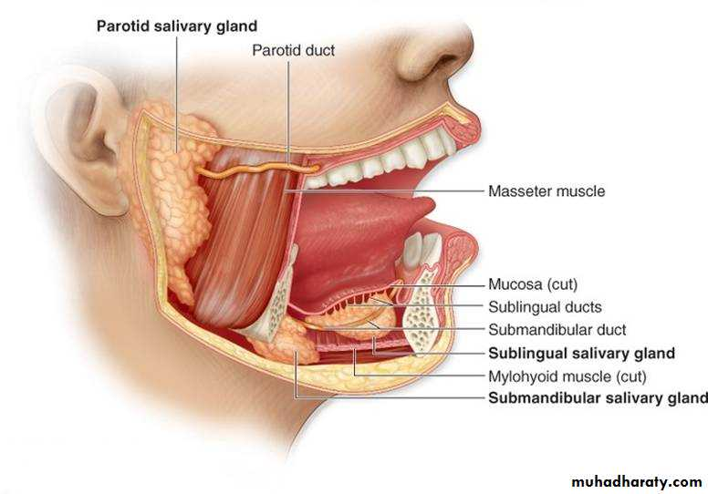 salivary glands docx - د.زيد موفق - Muhadharaty