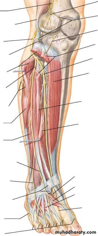 fibularis longus pain - 342×822