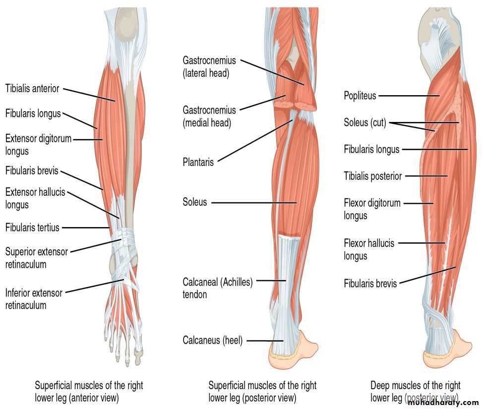 gastrocnemius muscle - 972×825