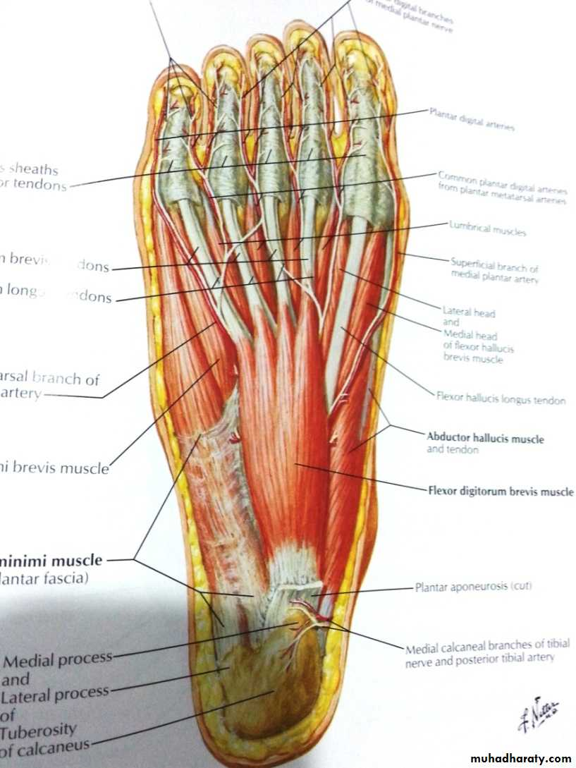 Front of the leg and dorsum of the foot pptx - د. إيمان - Muhadharaty