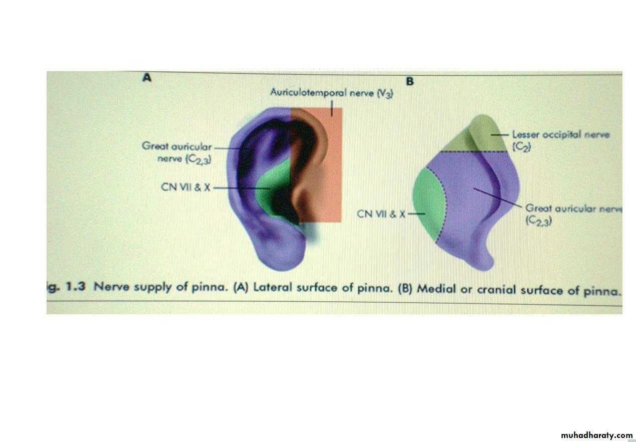 anatomy of external ear docx - د. احمد محي - Muhadharaty