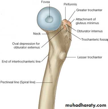 The Skeleton of the lower Limb pptx - عدي دريد عبدالقادر