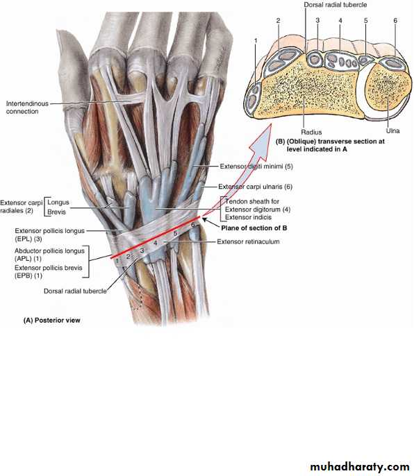 The Hand pptx - Upper limb (Practical) - Muhadharaty