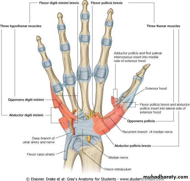 The Hand Pptx Upper Limb Practical Muhadharaty