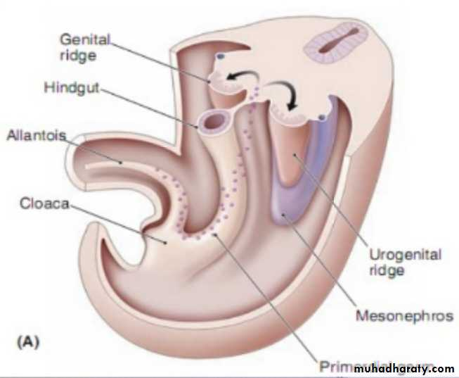 Embryology And Anatomy Of Female Genital Tract Pptx