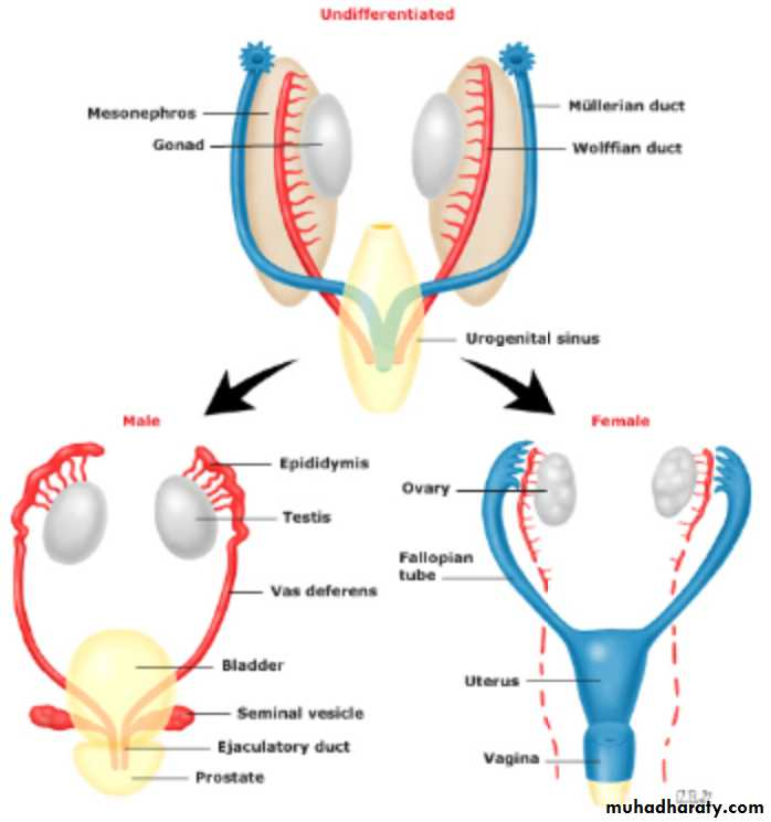 Embryology and Anatomy of Female Genital Tract pptx - د. امنة زكريا ...