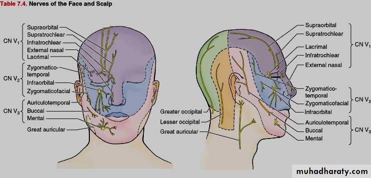 Anatomy pptx - د.سيف - Muhadharaty