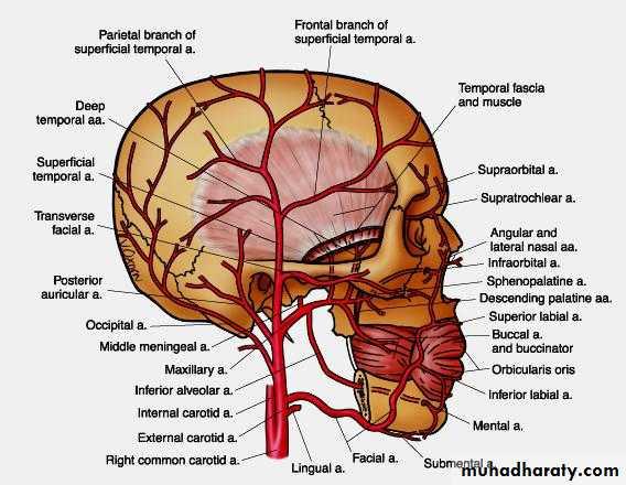 maxillary artery pptx - دكتور نجاة نظري - Muhadharaty