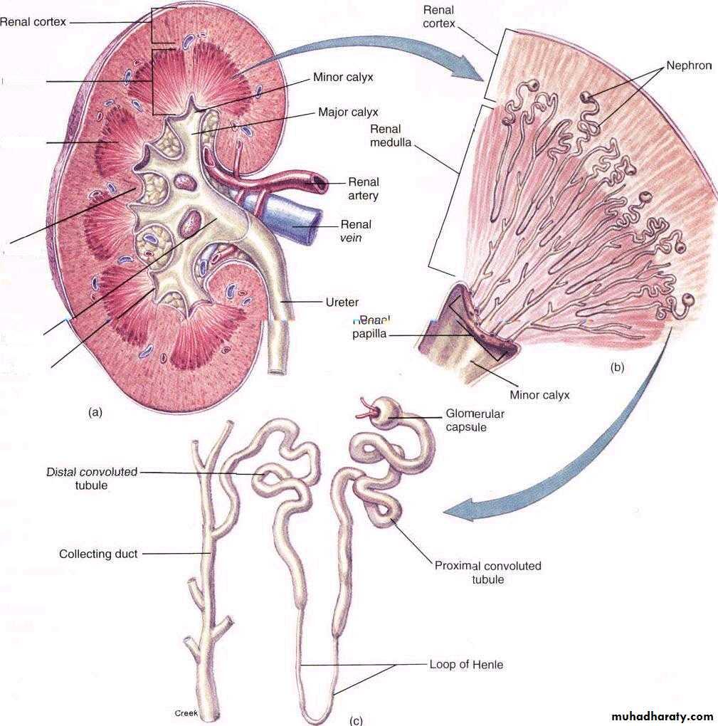 Urinary System Docx Muhadharaty