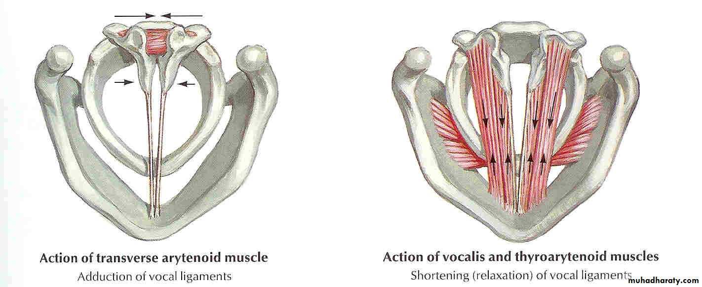 Anatomy of the Larynx pptx - د.عبدالله ربيع الخليلي - Muhadharaty