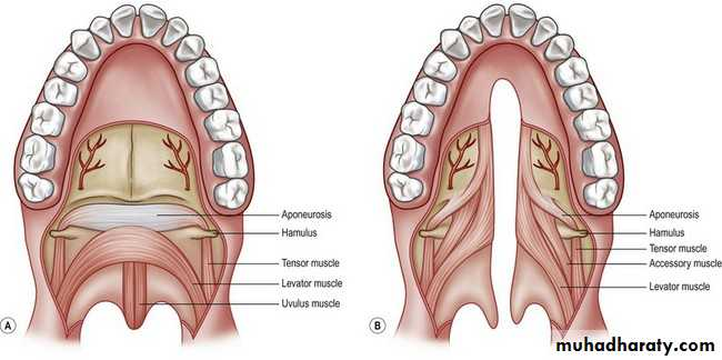 Anatomy Of The Mouth Pptx Muhadharaty