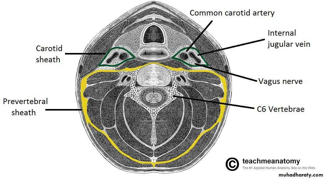Anatomy of The neck pptx - دكتور نجاة نظري - Muhadharaty