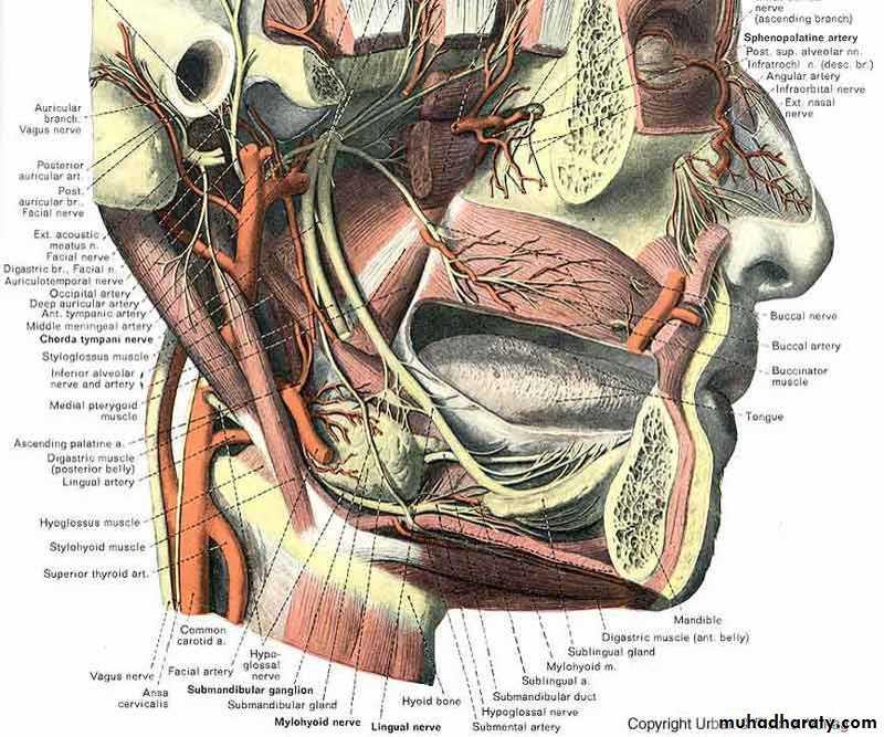 The Submandibular Region pptx - دكتور نجاة نظري - Muhadharaty