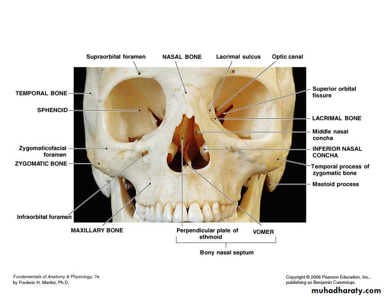 Facial fractures - Dr.Wafaa - محاضراتي