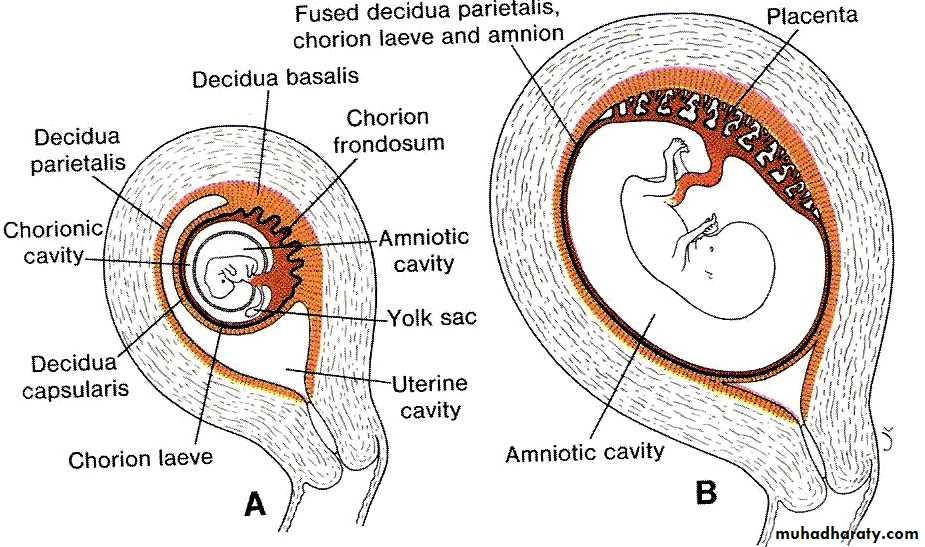 lec10 Development of the placenta pptx - هيثم علي الصايغ - Muhadharaty