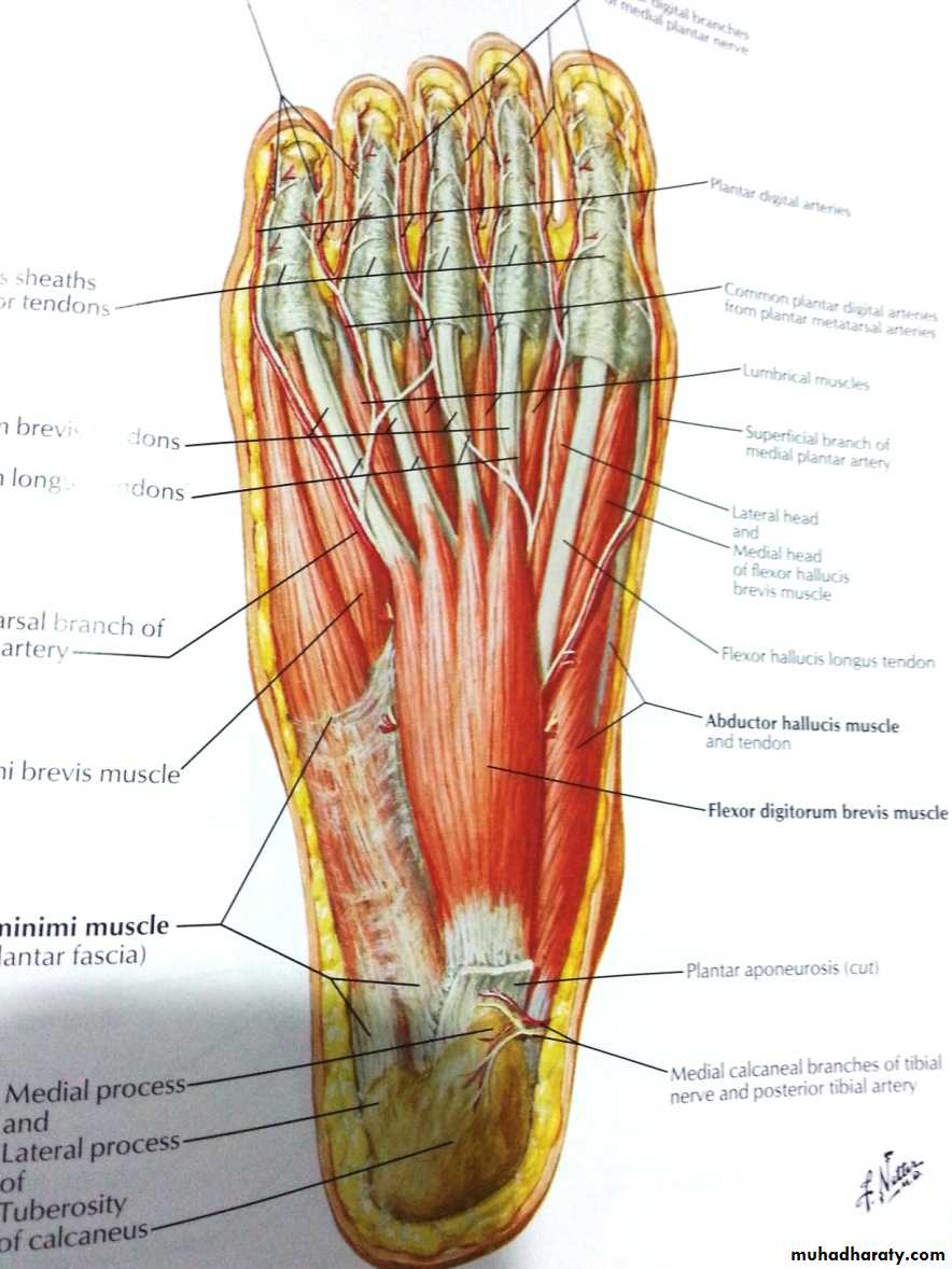 front of the leg and dorsum of the foot pptx - د.ايمان - Muhadharaty