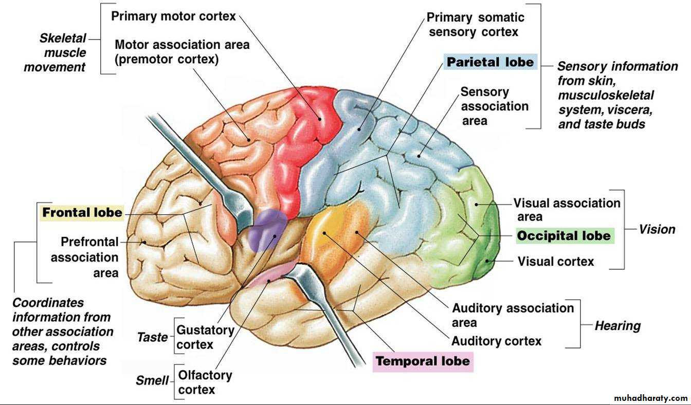 11 physiology of cerebral cortex