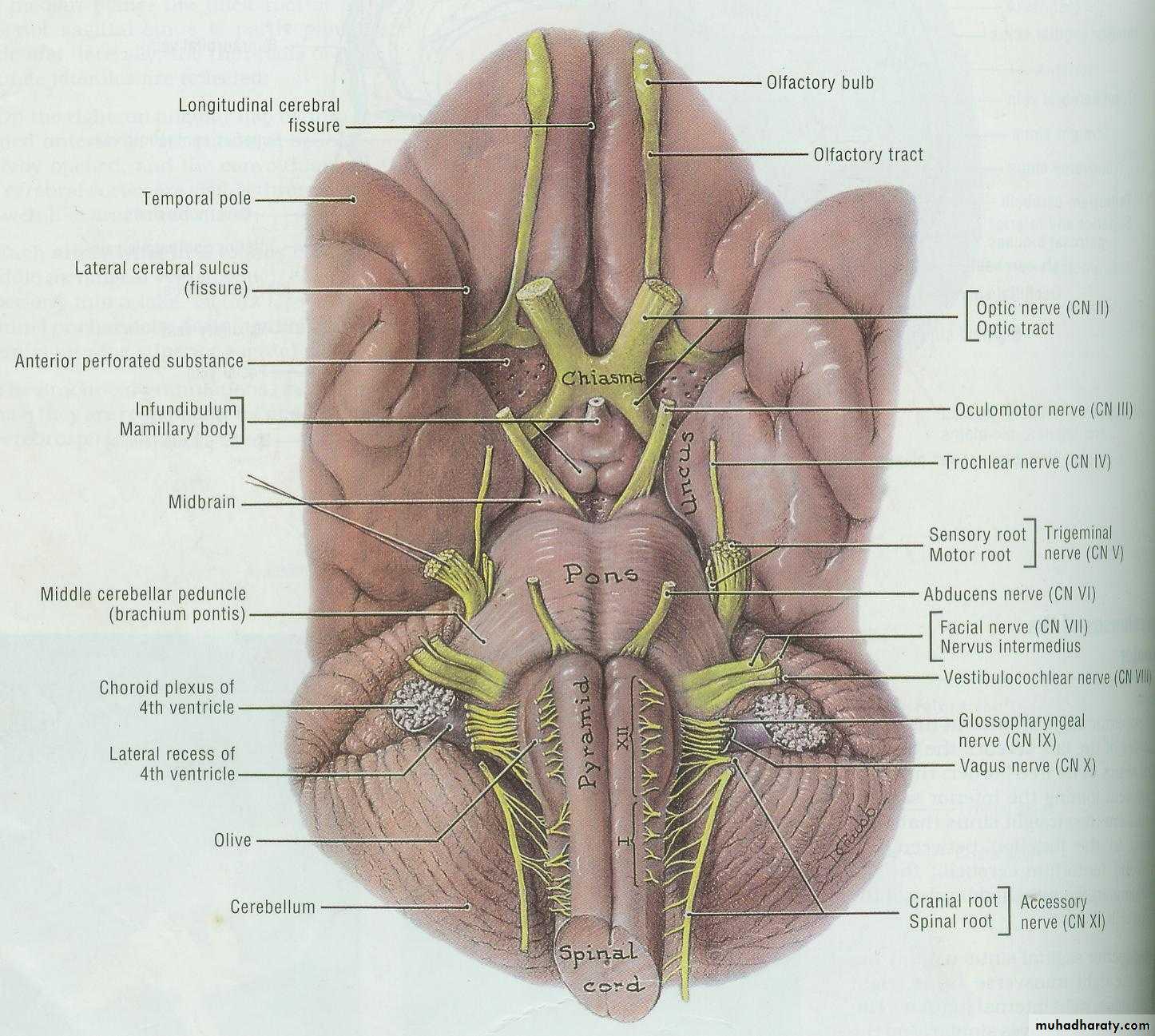 Cranial Nerves pptx - هيثم علي الصايغ - Muhadharaty