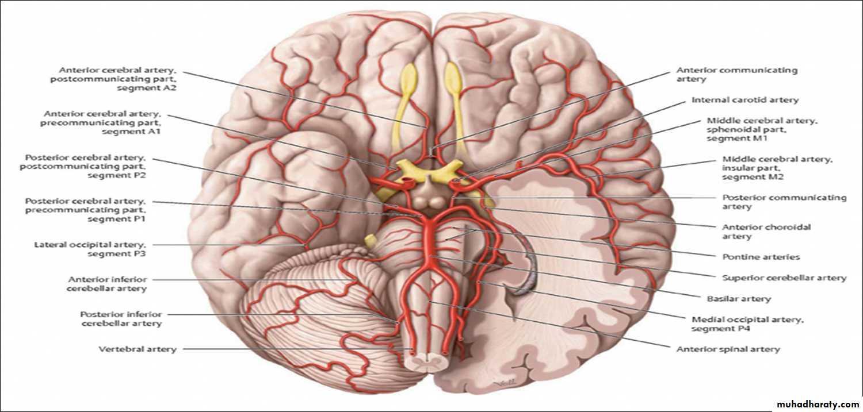 Brain pptx - دكتور نجاة نظري - Muhadharaty