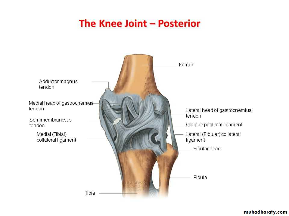 knee joint anatomy pptx - مؤيد - Muhadharaty