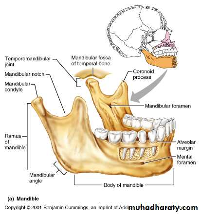 anatomical land marks of the mandible pptx - د.عمر - Muhadharaty