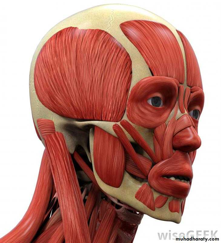Human anatomy face pptx - دكتور سعد - Muhadharaty