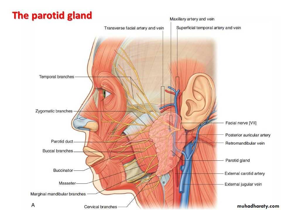 Parotid Gland Pptx Muhadharaty