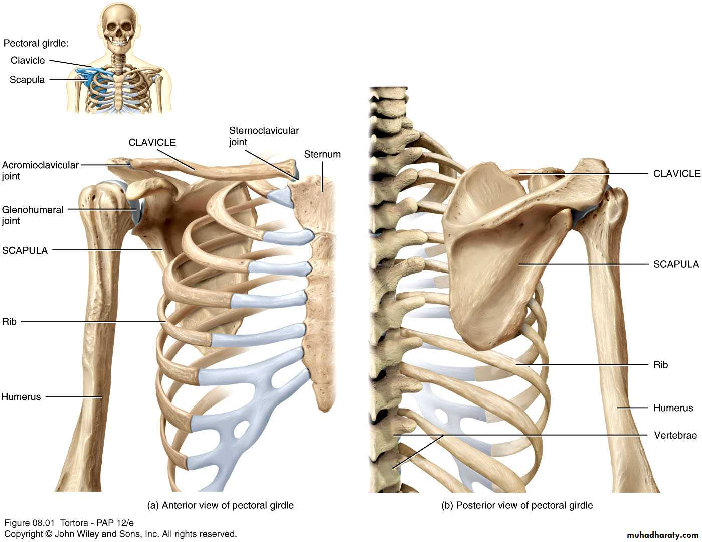 the primary function of the pectoral girdle is to