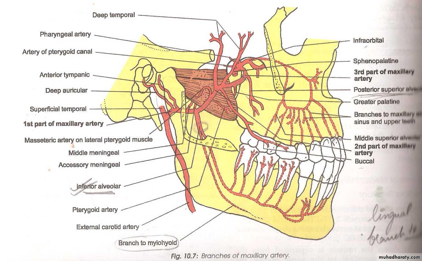 Maxillary Artery Pptx Muhadharaty