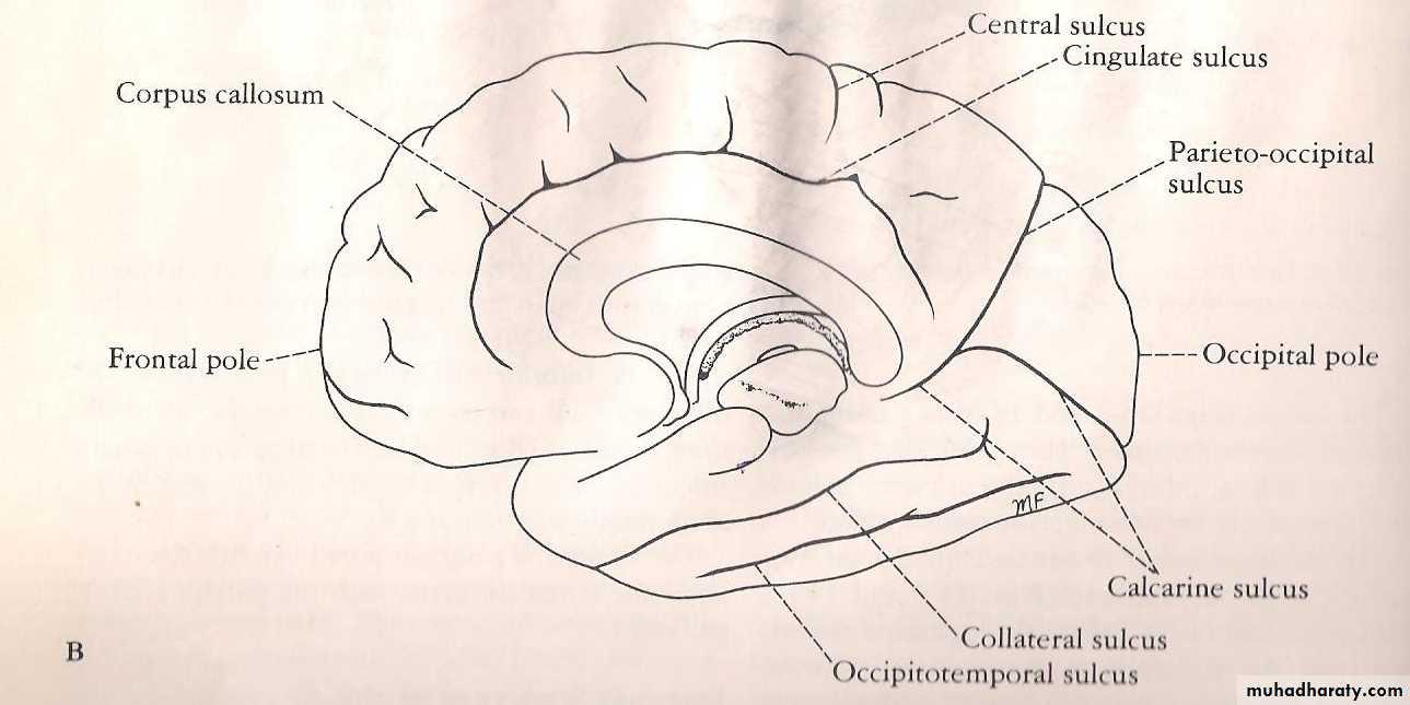 Neuroanatomy Pptx Muhadharaty