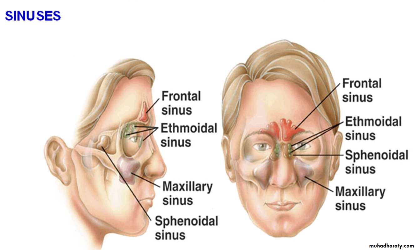 maxillary sinus - Gecce.tackletarts.co