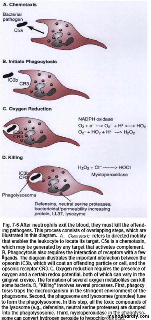 Inflammatory cells pptx - د. احمد (كلاسرووم) - Muhadharaty