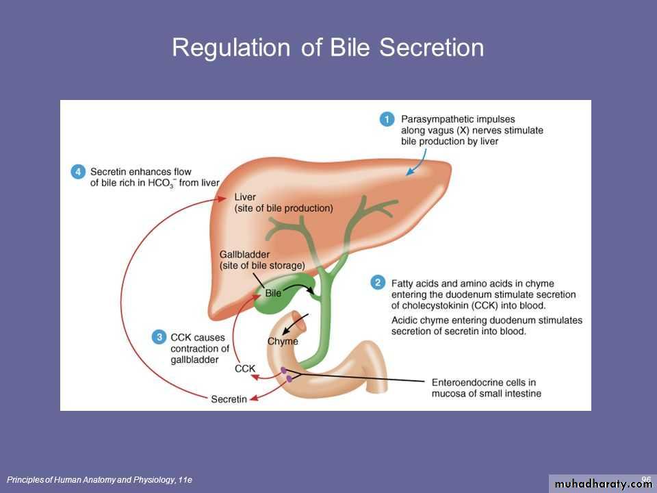 Bile Secretion by the Liver