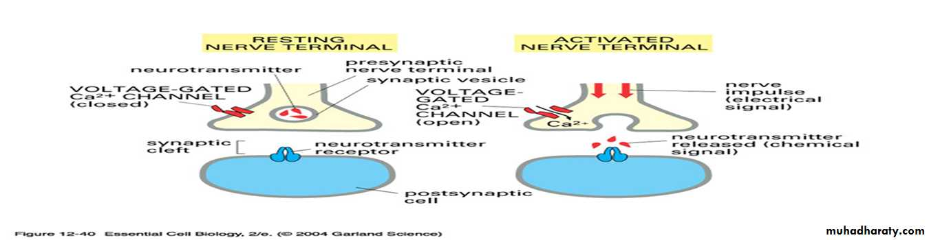 Physiology Synapse & Neurotransmission