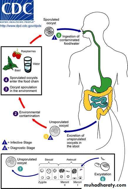 Intestinal Sporozoa